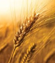 TEC Wheat Image 1217